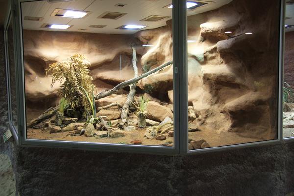 halsbandleguan terrarium